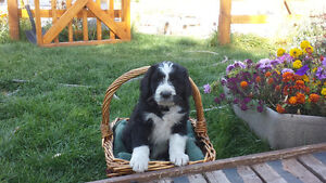 SWEET BERNEDOODLE PUPPIES ARRIVING MARCH 7 TH