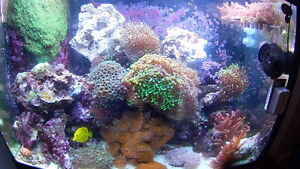 Coral frags Bubble Tip Anemone Live Rock