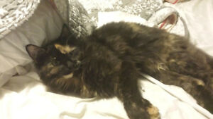 Lost Female Long Haired Cat 1 year old