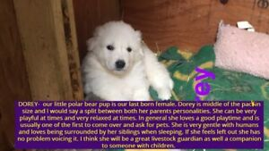 Beautiful Maremma X puppies For Sale