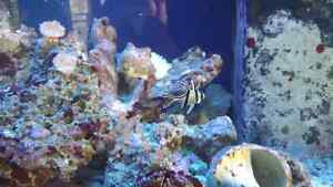 80 gal salt water aquarium  $1300 obo Campbell River Comox Valley Area image 5