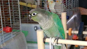 Gorgeous Bonded Pair of Young Turquoise Conures