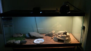 Hypo Translucent Beardie Dragon/Tank/Accessories- Male
