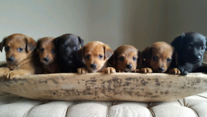 Adorable Yorkie-poo Puppies - Ready to go