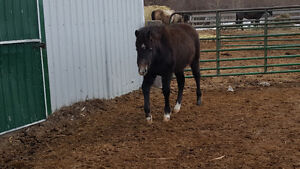 Grey filly for sale