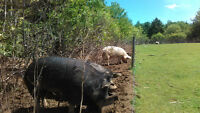 Breeding Group of Pigs. Boar and 2 Bred Sows