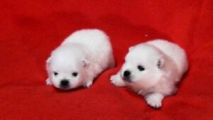 White Pomeranian Cuties