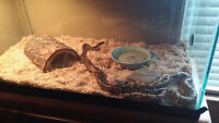 2 Ball Pythons, tank and accessories