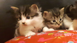Six adorable playful kittens for sale
