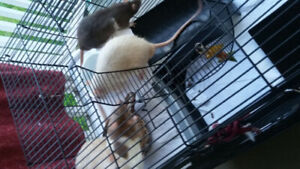 FREE!! 4 RATS WITH CAGE FREE PICK UP ONLY