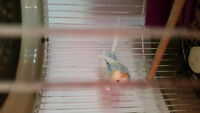 Baby budgie with cage