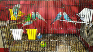 6 Budgies  (4 months old)