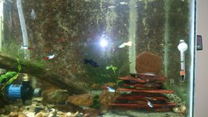 Free guppy fish