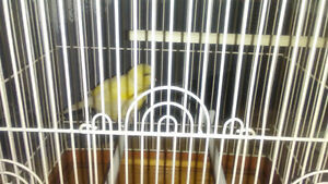 male border canary 2017 singing and in very good health