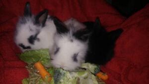 3 adorable baby lionhead bunnies for sale. 30$ each * 1 left