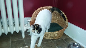 Lost white and calico cat Kitchener / Waterloo Kitchener Area image 2