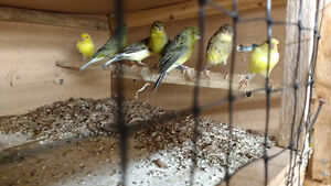 American singer Canaries male's