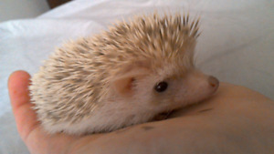 Absolutely adorable baby hedgehogs!AVaiLABLE NOW )