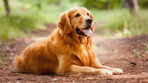 Adult golden retreiver