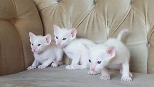 REGISTERED RARE FLAME POINT & CREAM POINT SIAMESE KITTENS