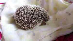 3 year old hedgie London Ontario image 2