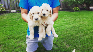 Intelligent Goldendoodle Puppies