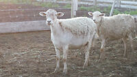 2 ewes for sale