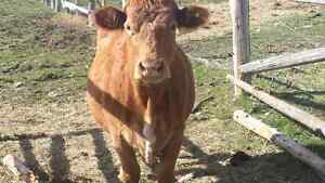1 beef cow for sale