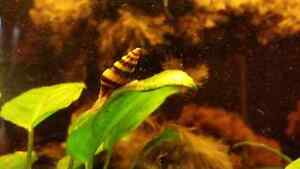 Assassin snails also known as Clea helena NW area