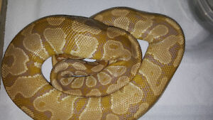 4 year old male caramel albino ball python proven breeder