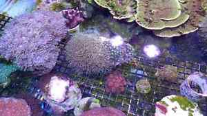 Corals for sale - large colonies