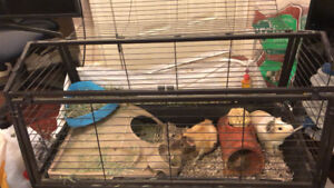 Two female guinea pigs for rehoming with cage