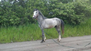 Handsome 13.5 h  Welsh Pony standing at stud for 2018.