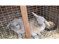 Mini lop eared rabbits