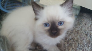 Purebred Ragdoll 3 months old male $690 obo