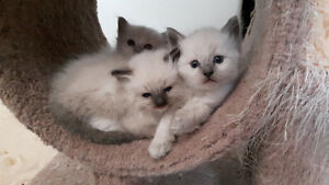 REGISTERED.  RAGDOLL KITTENS.  ACCEPTING DEPOSITS NOW
