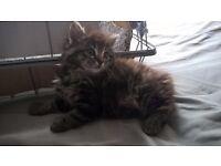 LOVELY KITTENS TABBY BLACK GINGER FLUFFY PUSSY CATS