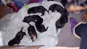 Pure Bread Rottweiler puppies for sale Peterborough Peterborough Area image 5