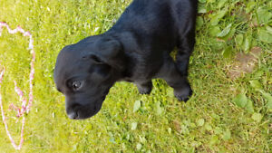 Pure breed lab puppies