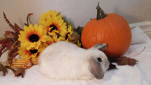 Adorable Holland lop bunnies Kitchener / Waterloo Kitchener Area image 3