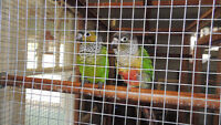 Conures and very large cage for sale