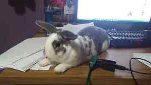 Cuddly 8 month old rabbit +cage and more  Kitchener / Waterloo Kitchener Area image 1