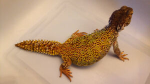 Three Uromastyx for Sale