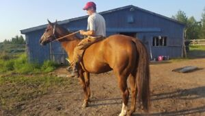 7 year old QH mare
