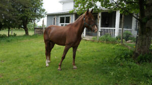 Quater Horse/Clydesdale cross for sale