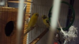 budgies  proven breeding pair