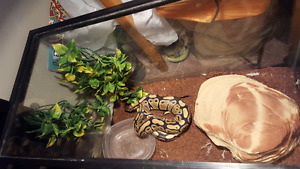 Selling a 2 and a half year old normal ball python.