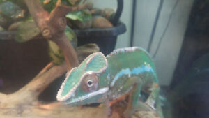 2 year old Panther Chameleon