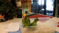 Baby Peach Front Conure Couronne $325