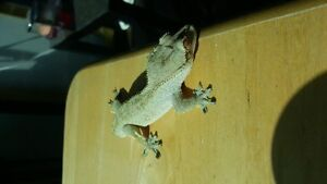 Two Crested Geckos needing a new home